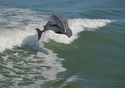 Sanibel Dolphin