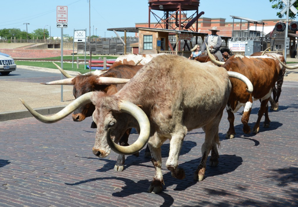 Fort Worth Stockyards Cattle Drive
