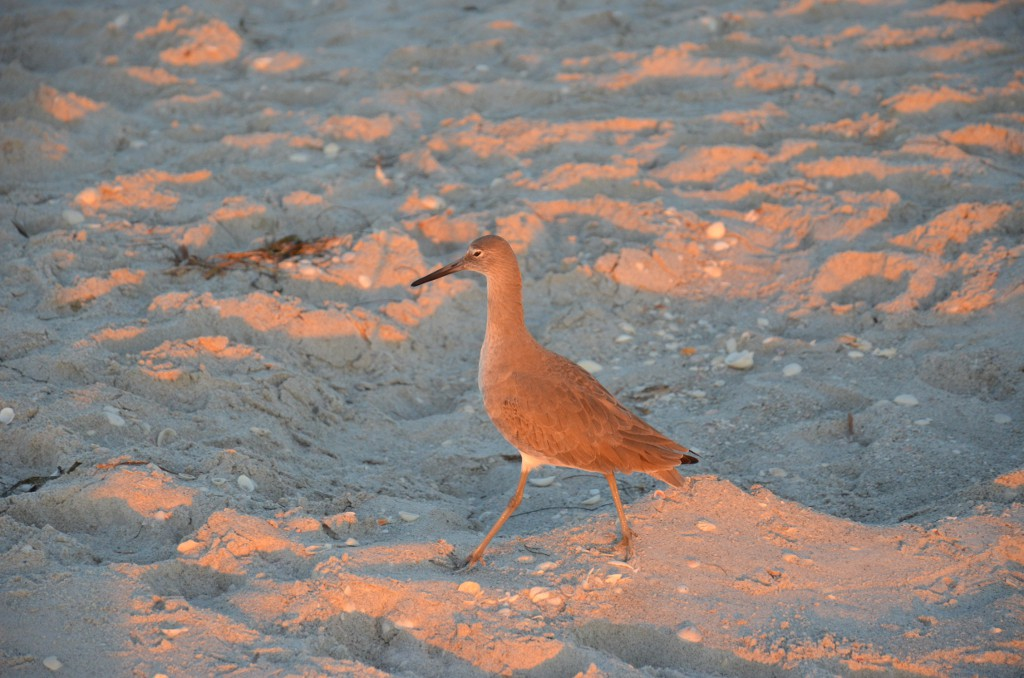 Vogel am Bowmans Beach auf Sanibel
