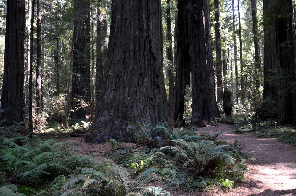 Avenue of Giants - Spaziergang durch Redwoods