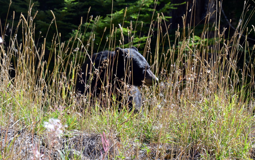 Black Bear Olympic Park Whistler