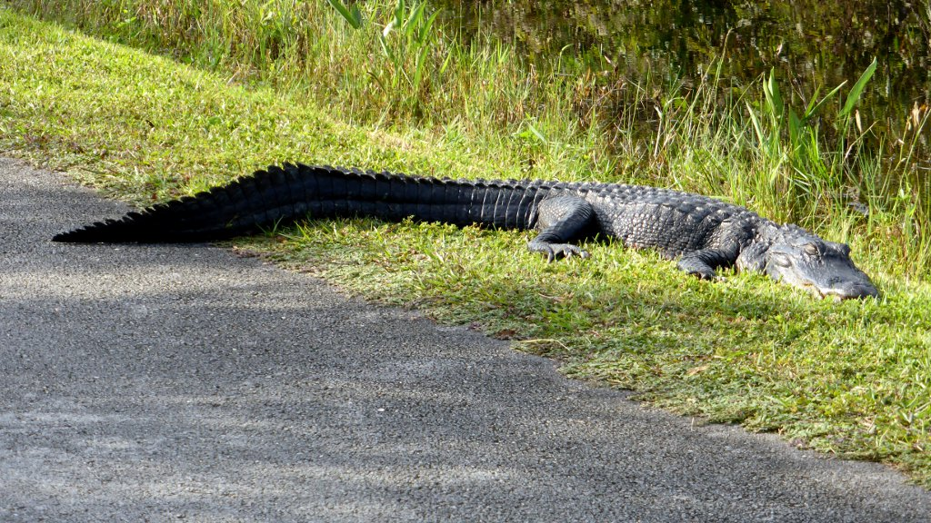 Alligator am Weg im Shark Valley