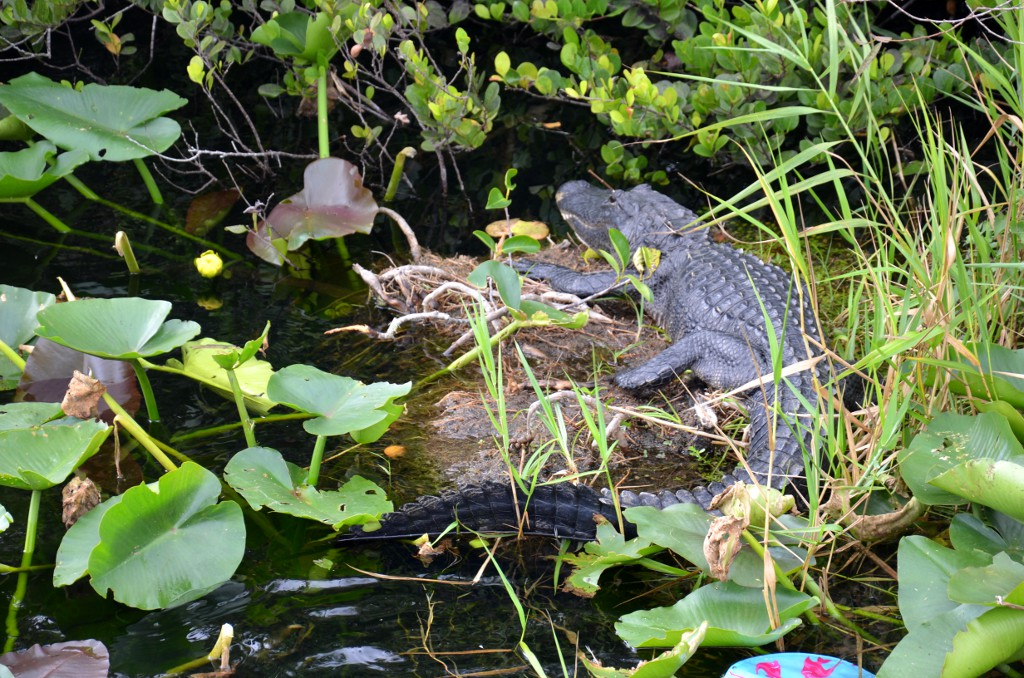 Everglades NP - Anhinga Trail - Alligator