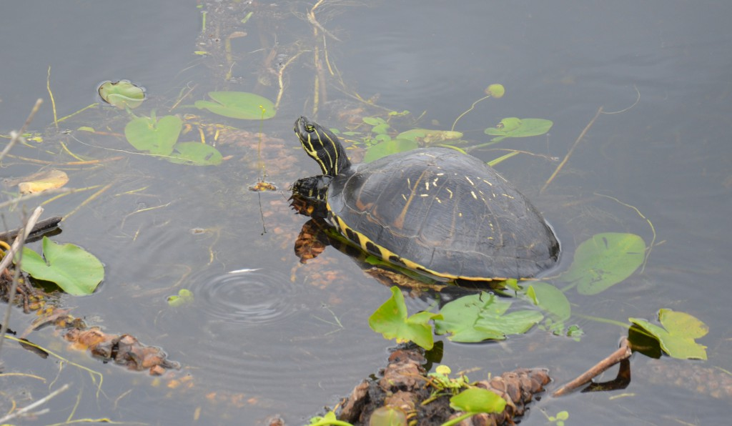 Everglades NP - Turtle