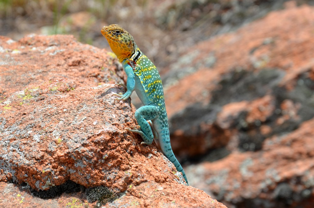 Wichita Mountains - Elk Mountain Lizard