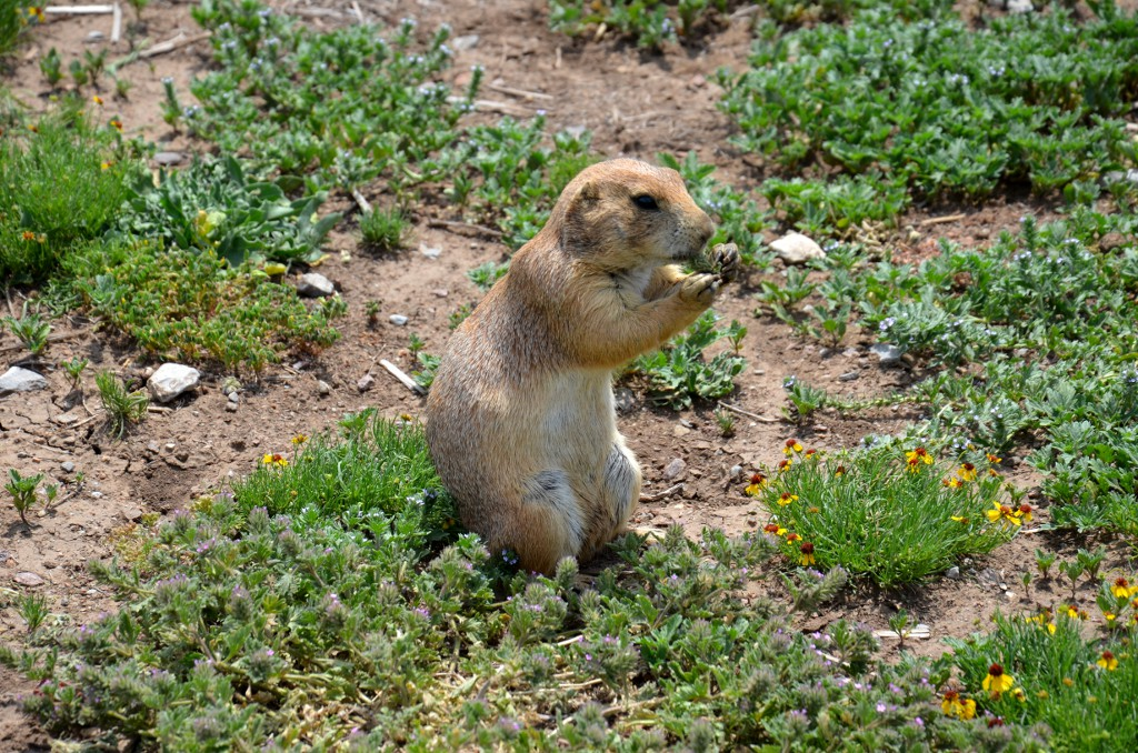 Wichita Mountains - Prairie Dog