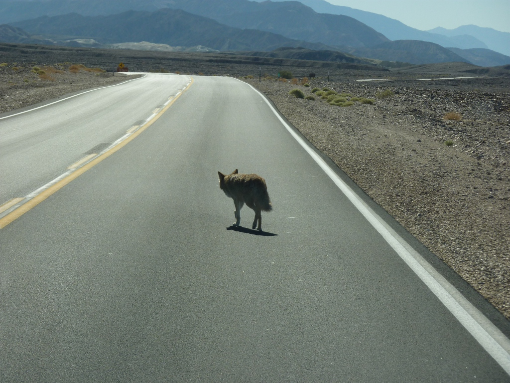 Death Valley Coyote