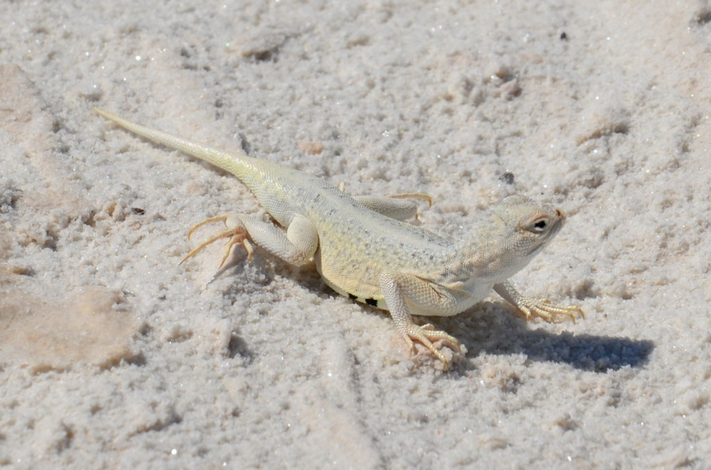 White Earless Lizard