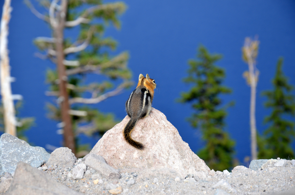 Chipmunk - Crater Lake NP